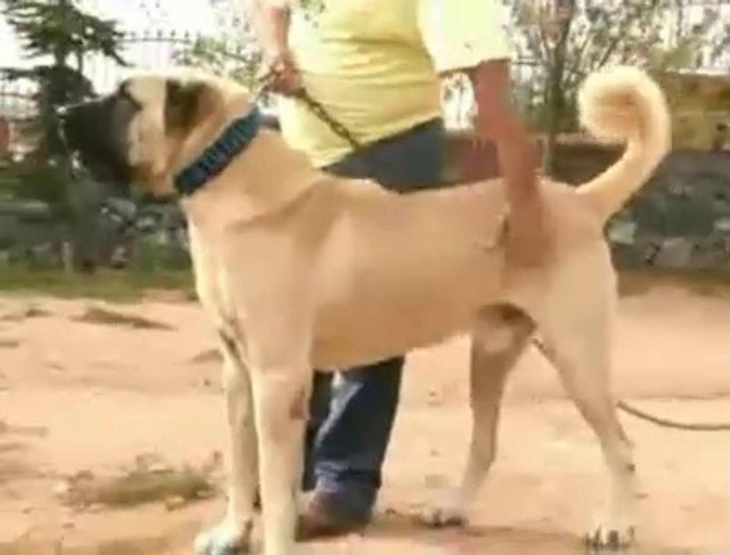 DEV COBAN KOPEKLERi KARSILASTI KIYASIYA ATISMA YAPTI - GiANT SHEPHERD DOGS VS