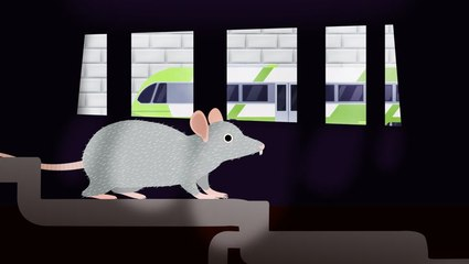 Why cities can't get rid of rats