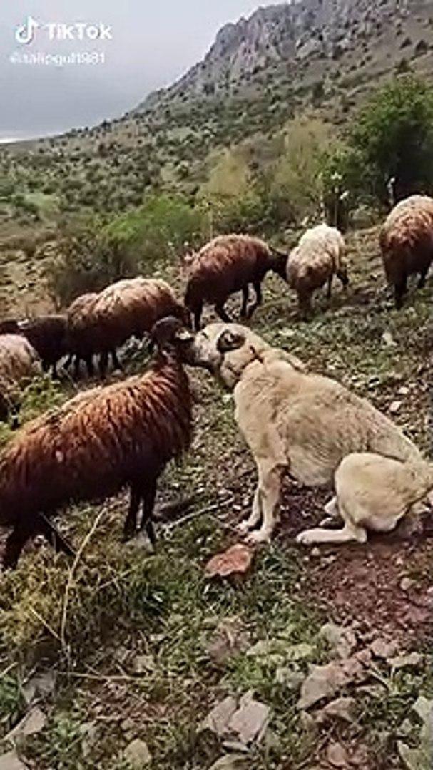 KANGAL ve SAMiMi KOYUN DOSTLUGU - KANGAL DOG and SHEEP FRiEND