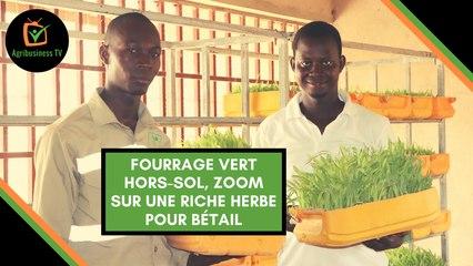 Burkina Faso : Fourrage vert hors-sol, zoom sur une riche herbe pour bétail