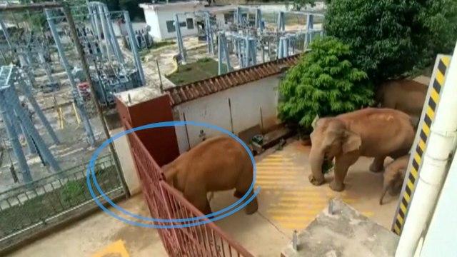 L'inarrêtable troupeau d'éléphants sauvages continue de semer la pagaille en Chine