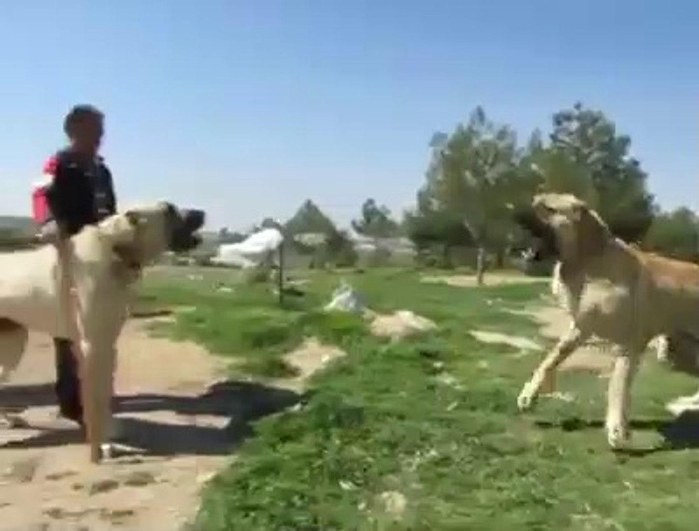 90+ LAR KARSI KARSIYA GELIRSE - 90+  SHEPHERD DOGS FACE TO FACE