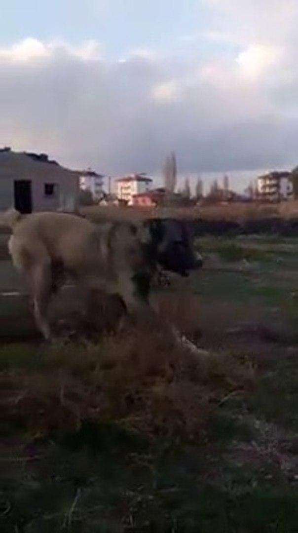 4*4 GUDUK SOYU COBAN KOPEGi GEZiNTi - 4*4 SHEPHERD DOG with WALK