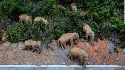 Los elefantes nómadas.