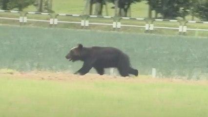 Vier Menschen verletzt: Bär im Nordosten Japans erschossen