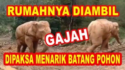 Viral Video Gajah Kesusahan Tarik Kayu Batang Pohon Besar, Hngga Chicco Jerikho Ikut Bersuara