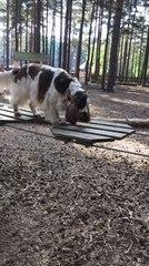 Dog Crosses Rope Bridge in Woods
