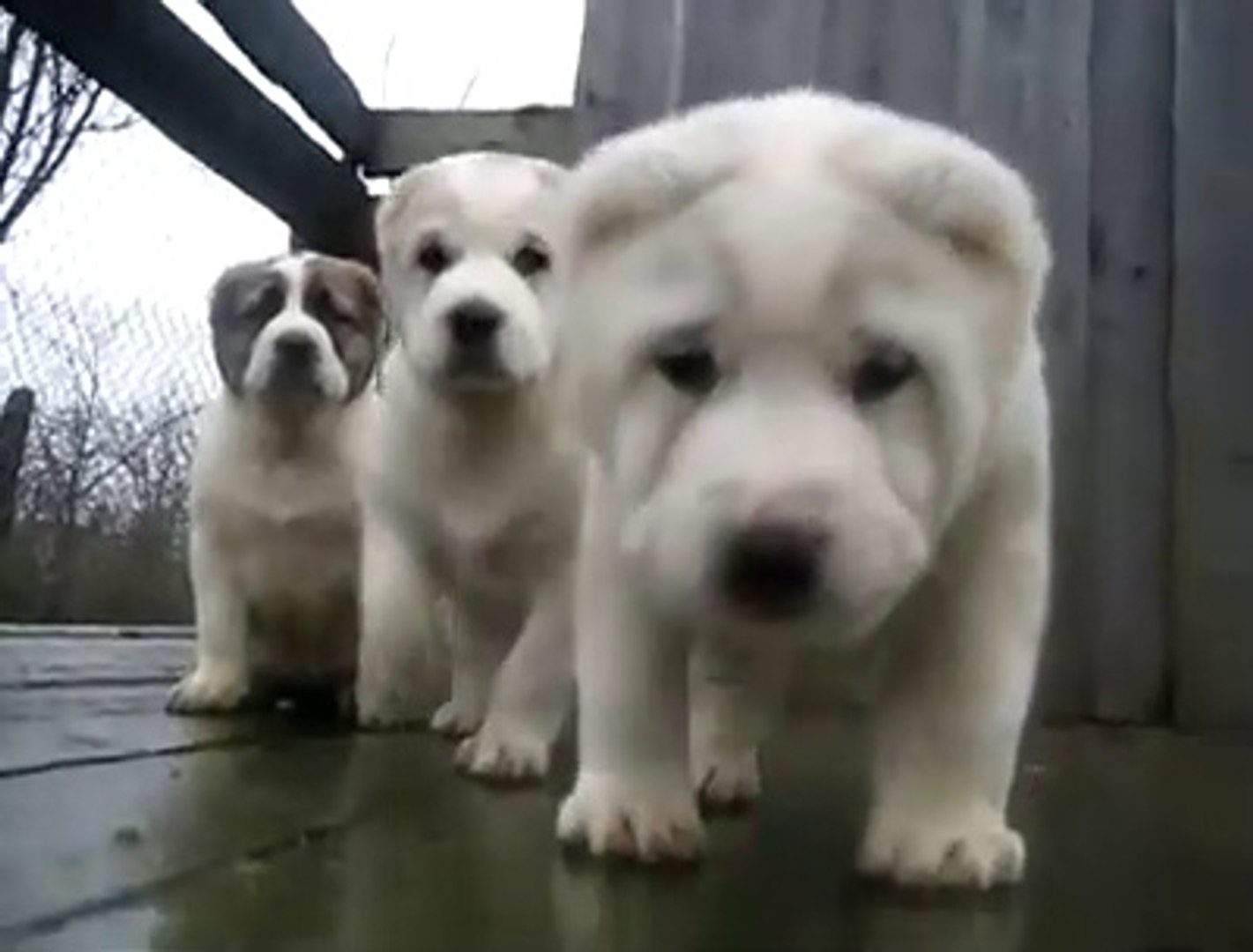 PEK SEViMLi ALABAY YAVRU KARDESLER - CUTE ALABAi SHEPHERD DOG PUPPiES