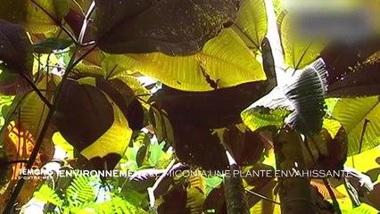Environnement - Le miconia, plante envahissante