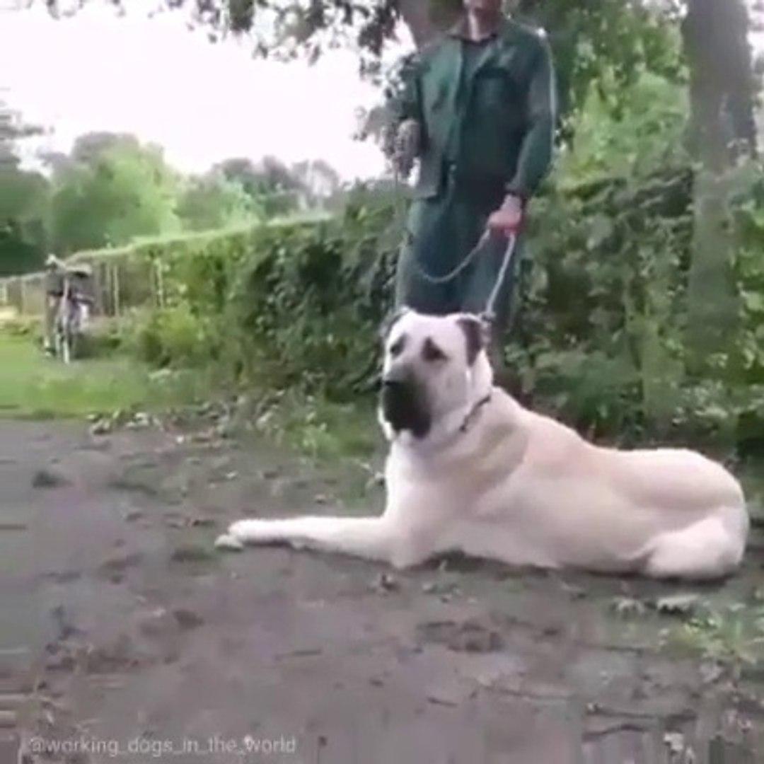 DEV COBAN KOPEGi PUR DiKKAT HAZIR - GiANT SHEPHERD DOG