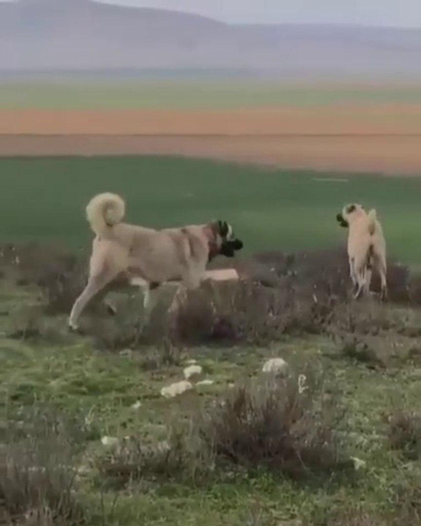 KANGALLAR GOREV BASINDA ASAYiS FUL BERKEMAL - KANGAL SHEPHERD DOGS