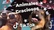 Los Mejores Tik Tok  De Gatos Y Perros  - Recopilación  De Animales