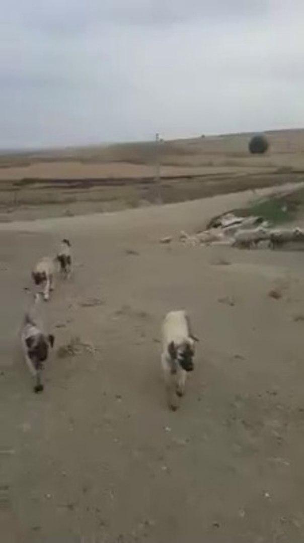 COBAN KOPEGi YAVRULARI GOREViMiZ TEHLiKE - SHEPHERD DOG PUPPiES at MiSSiON