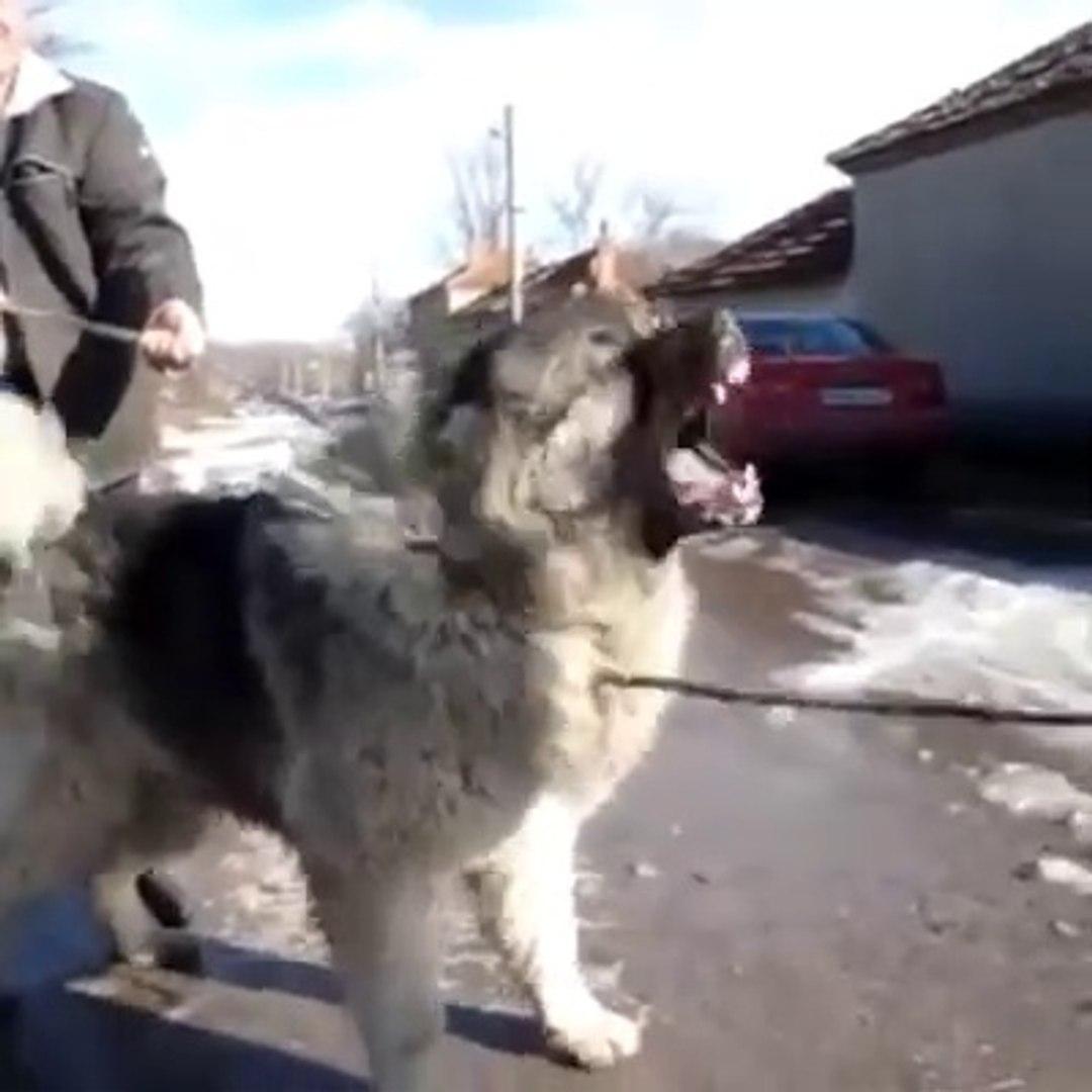 KAFKAS COBAN KOPEGiNi COK KIZDIRIYORLAR - ANGRY CAUCASiAN SHEPHERD DOG