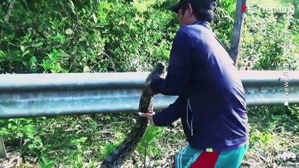 Capturan a una enorme pitón de 7 metros de largo en Indonesia