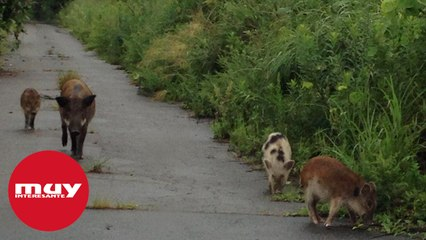 Nace un extraño híbrido entre jabalíes radiactivos y cerdos en Fukushima