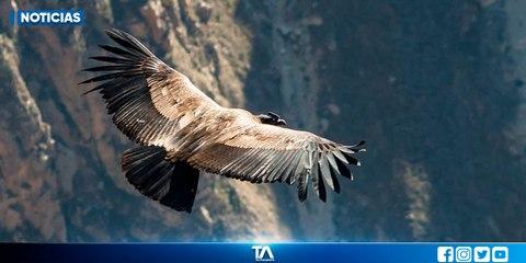 El cóndor andino es una especie endémica de América del Sur
