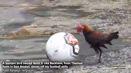 Bantam bird shows off his football skills