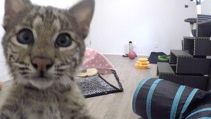 Baby Bobcat Zoomies!!