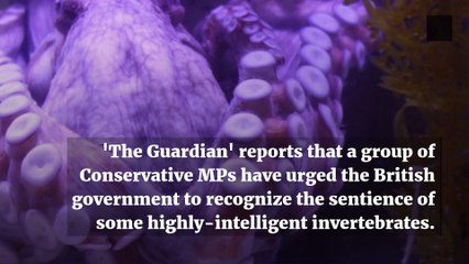 Octopuses and Lobsters to Be Included in Sentience Bill