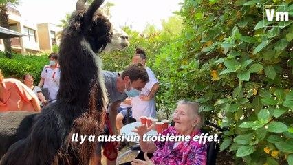 À Hyères, Jules le lama rend visite aux  personnes âgées