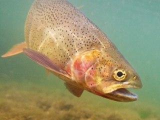 High unter Wasser: Fische können durch Abwasser drogensüchtig werden