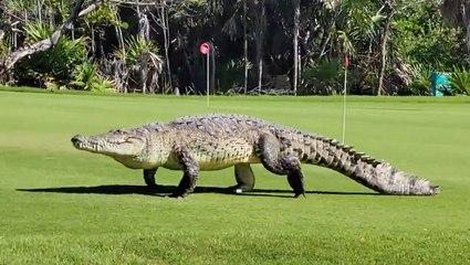 15-Foot Long Crocodile Struts Through Golf Course