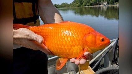 Peces de colores del tamaño pelota de fútbol se apoderan de un lago en Minnesota