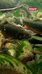 En Utah, arrojan miles de peces desde avionetas para repoblar la fauna de sus lagos