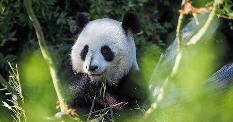 Zoo de Beauval : la femelle panda Huan Huan attend bien un second bébé !