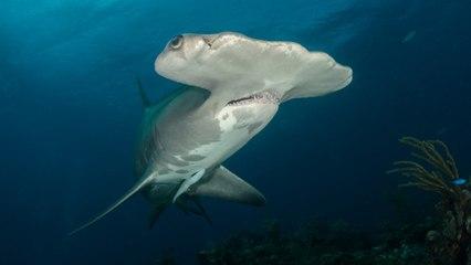 Un baigneur fait une rencontre effrayante avec un requin-marteau