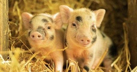 Devenez le parrain ou la marraine de cochons sauvés de l'abattoir grâce à l'association Groin Groin