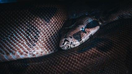 In der Zwischendecke gelauert: Familie entdeckt riesige Python im Haus