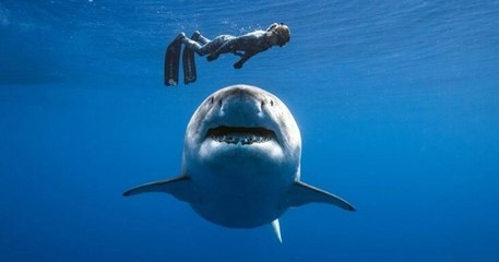 Découvrez Deep Blue, le plus grand requin blanc au monde