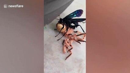 Cette guêpe noire ne fait qu'une bouchée de cette araignée...