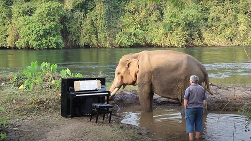 Bull Elephant Waits Patiently For Musician To Play Beethoven