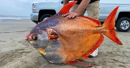 Aux États-Unis, un poisson d'une couleur et d'une taille impressionnantes s'est échoué sur une plage