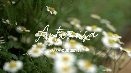 Artemisa o Moxa ¿para qué sirve - Propiedades medicinales