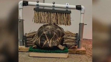 Kein Problem mit Juckreizen: Schildkröte genießt Bürstenmassage