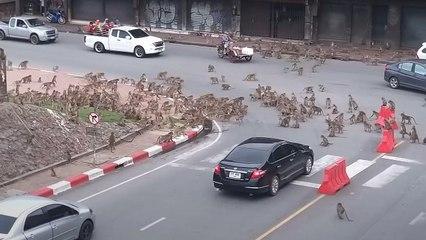 Kampf auf der Kreuzung: Streitende Affenbanden blockieren Verkehr