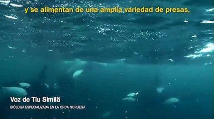 La curiosa estrategia de caza de las orcas
