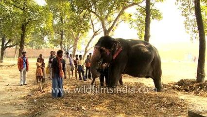 Mother and baby elephants chewing sugarcane