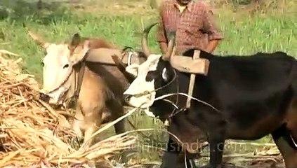 Indian farming_ Ploughing