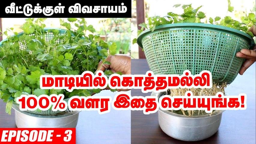 வீட்டில் ஈஸியா வளர்க்கலாம் கொத்தமல்லி செடி _ How to Grow Coriander Leaves in Terrace Garden