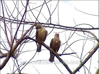 Black Partridge calling in Corbett National Park