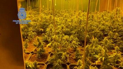 Policía Nacional incauta 733 plantas de marihuana y armas largas en un chalet fortificado en los Palacios