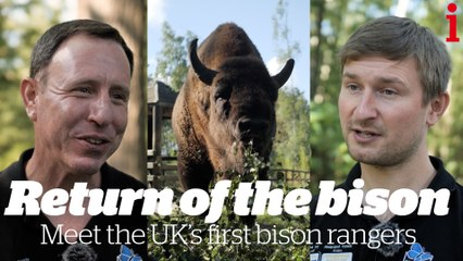 Return of the bison: how reintroducing this 'keystone species' can help return UK's countryside to it's natural state