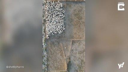 Beeindruckende Vogelperspektive auf Schafherde