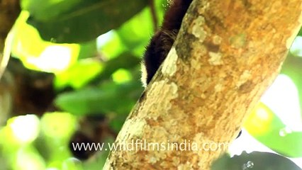 Staring down an Indian giant squirrel (Ratufa indica)