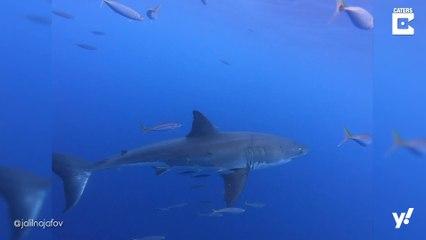 Einzigartige Aufnahmen von gefährlichen Haien